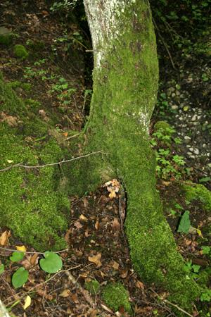 Modele principal - Mousse sur les arbres ...